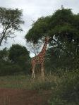 Murchison Giraffe